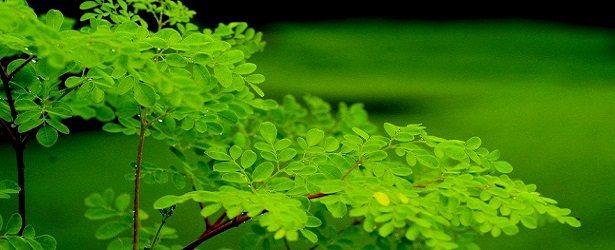 Moringa, a Marvel of a Tree